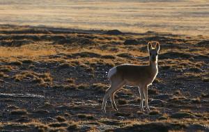 【玛多图片】野生动物王国-青海