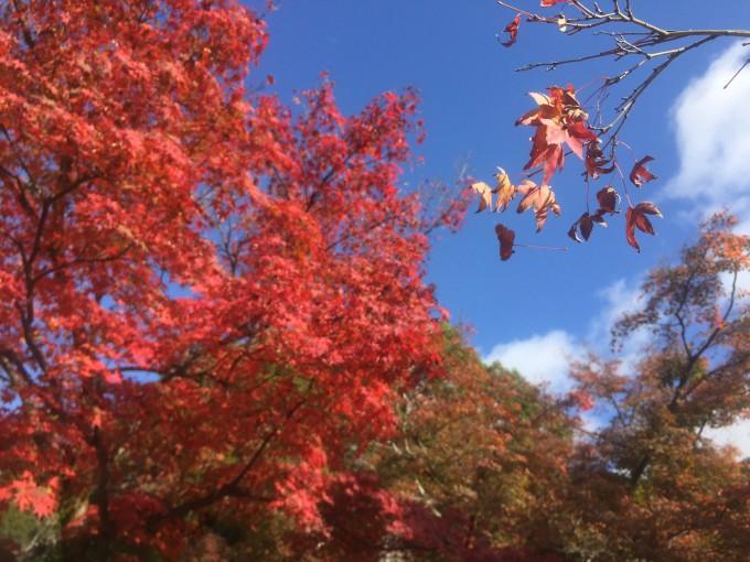 背景 壁纸 枫叶 红枫 绿色 绿叶 树 树叶 植物 桌面 680_510