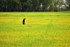 金秋十月,十里稻香,还记得那些年农村收稻谷的场景!