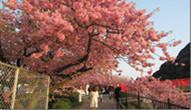 杭州樱花节
