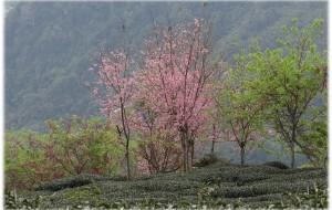 【阿里山图片】茶清花香--台灣阿里山