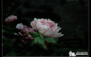 【菏泽图片】曹州牡丹