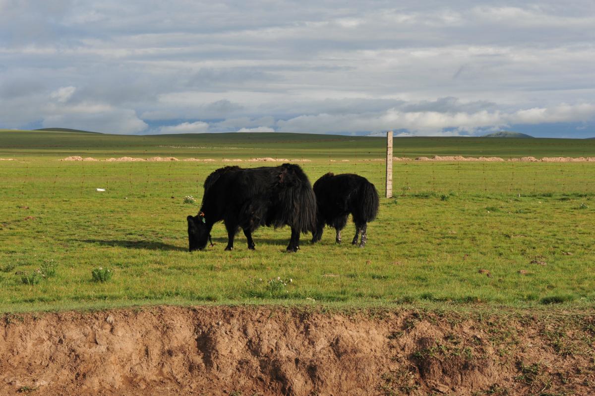 草原牦牛风景图片大全