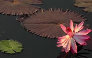 【深圳图片】冬日里金色池塘绽放的荷花
