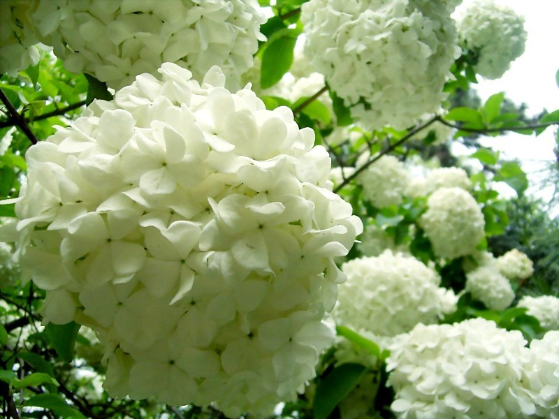 Image result for 扬州琼花