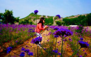 【兴隆图片】相约雾灵———邂逅紫色花海———记2015年6月端午假期