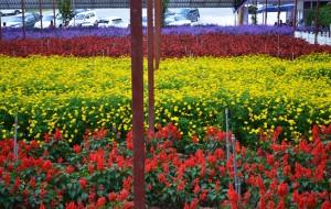 【金马伦高原图片】薰衣草花园。金马伦高原。彭亨。马来西亚。