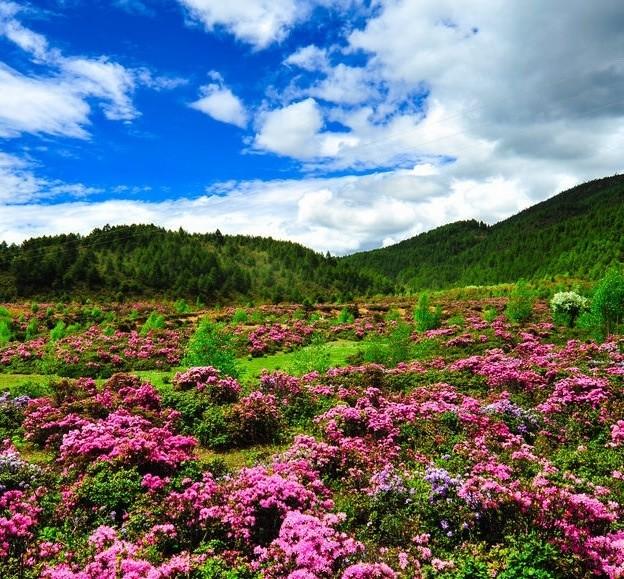 请问下几月去香格里拉普达措公园最漂亮,花开得比较好
