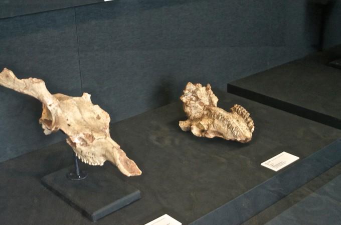 远古时代动物骨骼化石